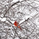 Free stock photo Red cardinal sitting on a tree branch in the snow