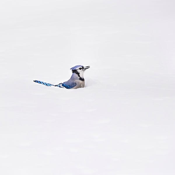 Free stock photo A blue jay standing in deep snow