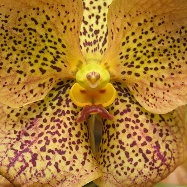 Free stock photo Macro close up of a spotted yellow orchid