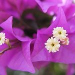 Free stock photo Close up of Bougainvillea flowers
