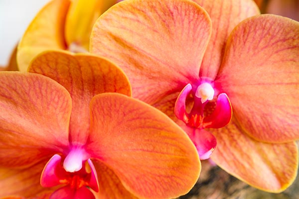 Free stock photo Full frame close up of two orange orchids