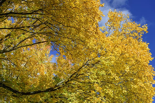 Free stock photo Brilliant yellow autumn leaves on tree branches against a blue sky
