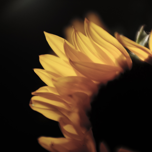 Free stock photo Graphic close up of sunflower petals lit by the sun