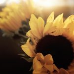 Free stock photo Soft and bright close up of sunflowers