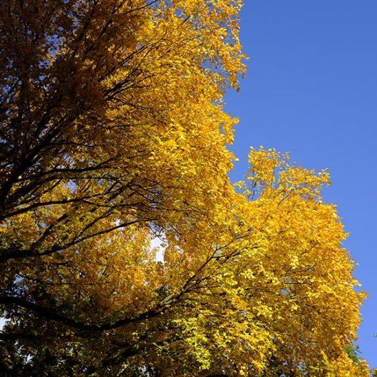 Free stock photo Colorful yellow autumn tree branches against a blue sky
