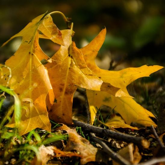 Free stock photo Close up of a group of yellow autumn oak leaves on the ground