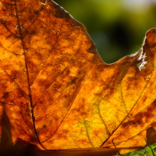 Free stock photo Close up of a colorful autumn maple leaf