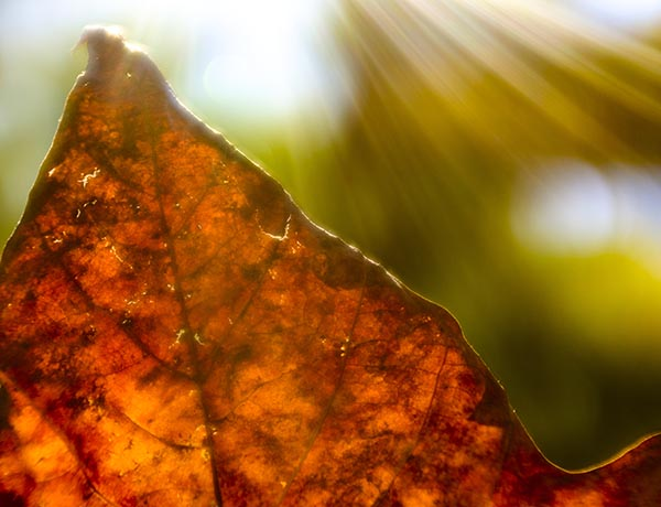 Free stock photo Macro close up on an autumn leaf with sun flare