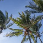 Free stock photo Group of palm trees against a blue sky