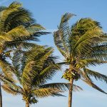 Free stock photo Coconut palm trees blowing in a breeze against a blue sky