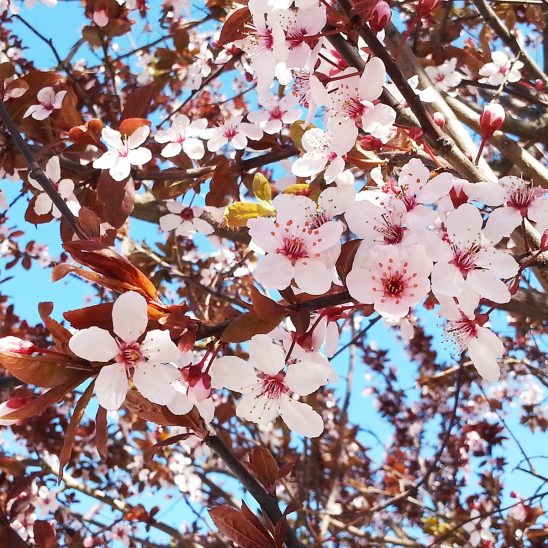 Free stock photo Pink flower blossoms on a tree branch