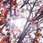 Free stock photo Sun flare bursting through tree branches with pink spring blossoms