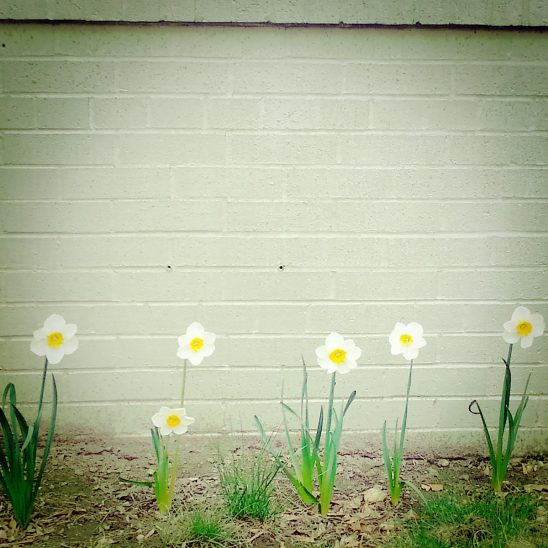 Free stock photo Daffodils growing against a brick wall