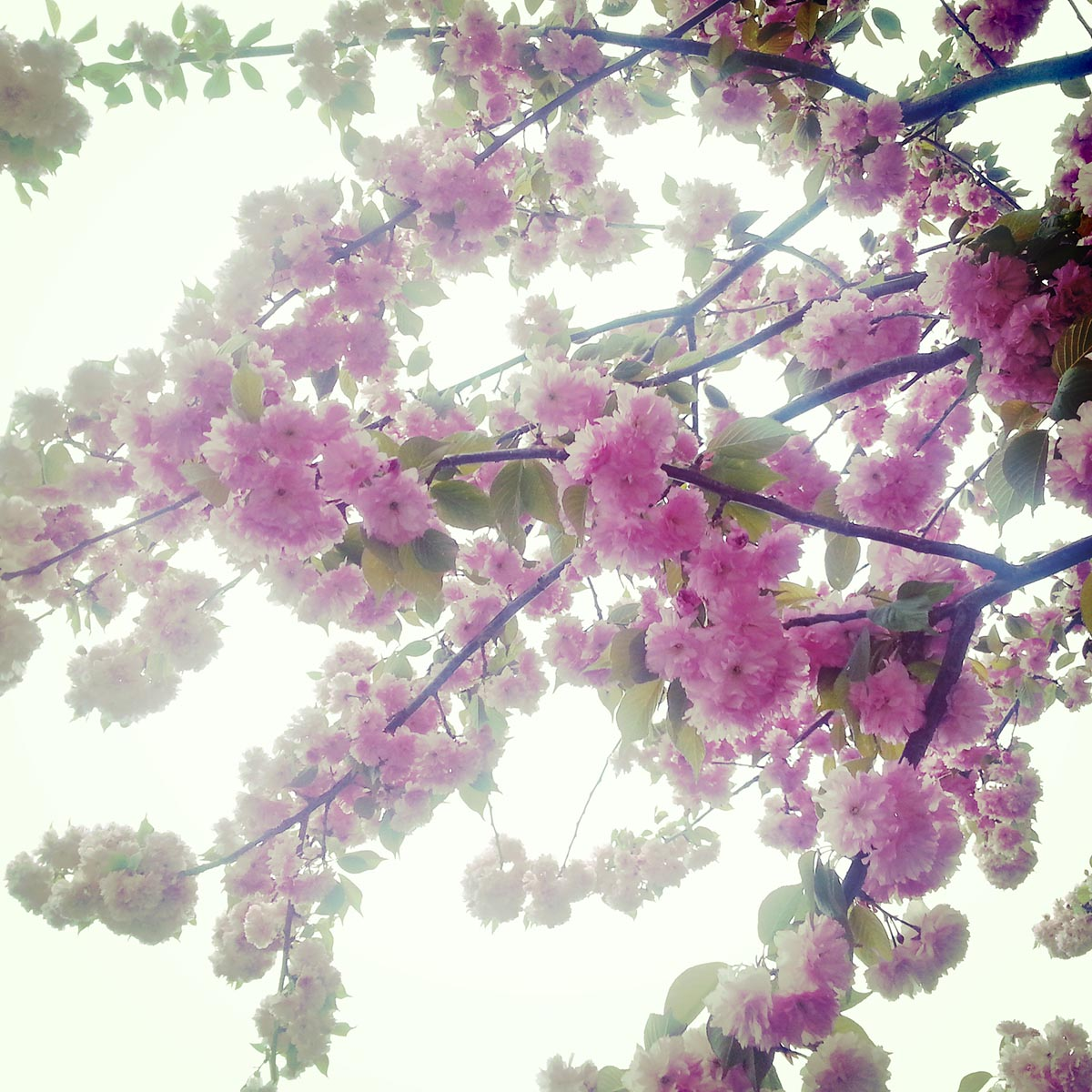 Free stock photo Pink blossoms on tree branches against a white sky