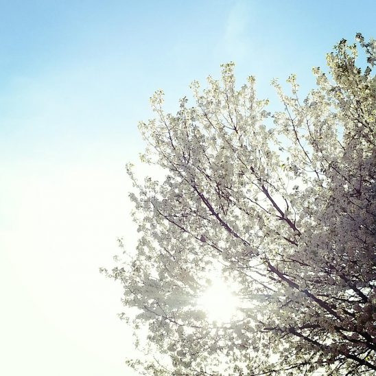 Free stock photo White spring blossoms against the sun sky