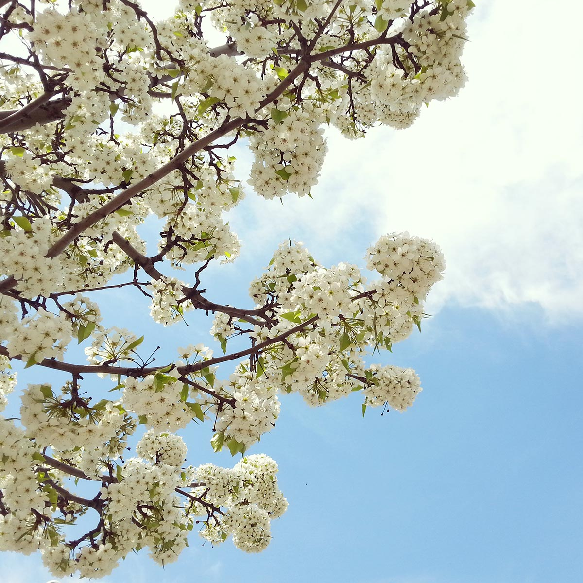 Free stock photo White blossoms against a blue sky