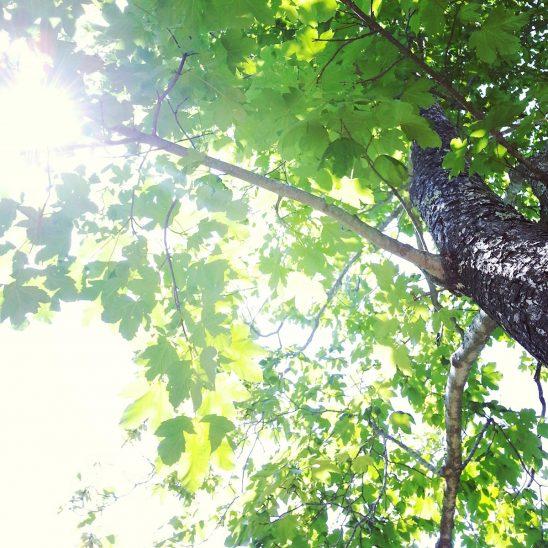 Free stock photo Sun shining through green spring tree leaves