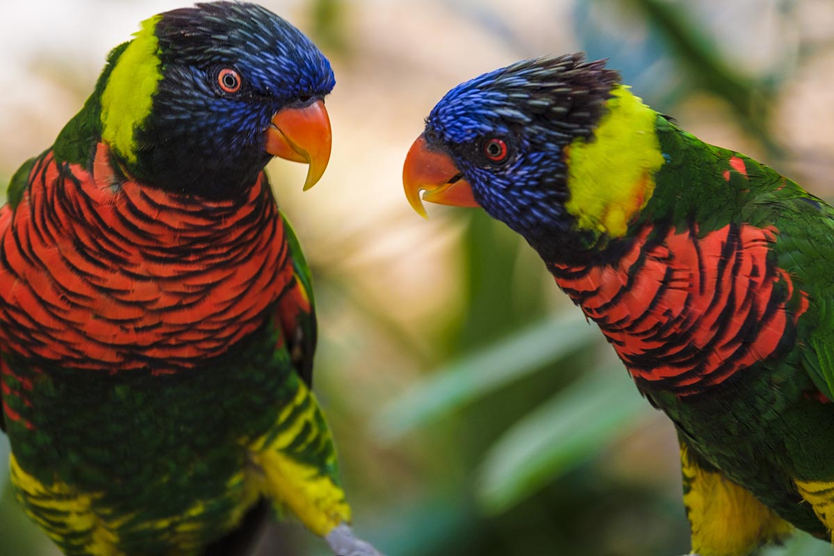 Free stock photo Two colorful lorikeet parrots facing each other on a branch