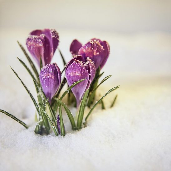 Free stock photo Crocuses breaking out of the winter snow