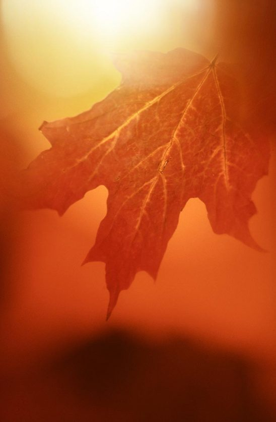 Free stock photo Red autumn maple leaf on a red background
