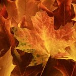 Free stock photo Background of colorful autumn maple leaves