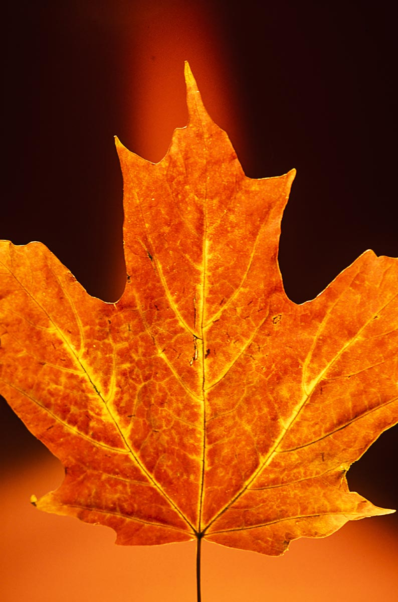 Free stock photo Close up of an autumn red maple leaf against a black background