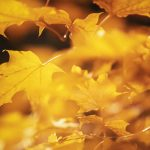 Free stock photo Background of yellow maple leaves on a tree branch