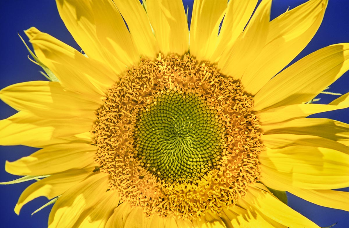 Free stock photo Close up of a yellow sunflower against a blue sky