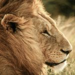 Free stock photo Close up profile of a male lion head in Africa
