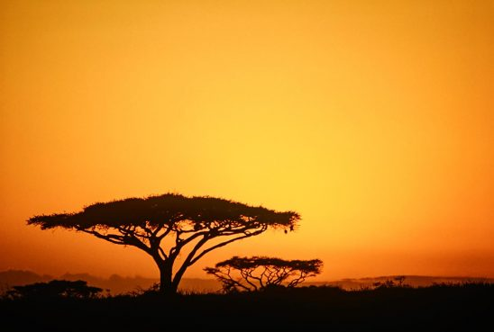 Free stock photo Acacia trees silhouetted against a sunset sky