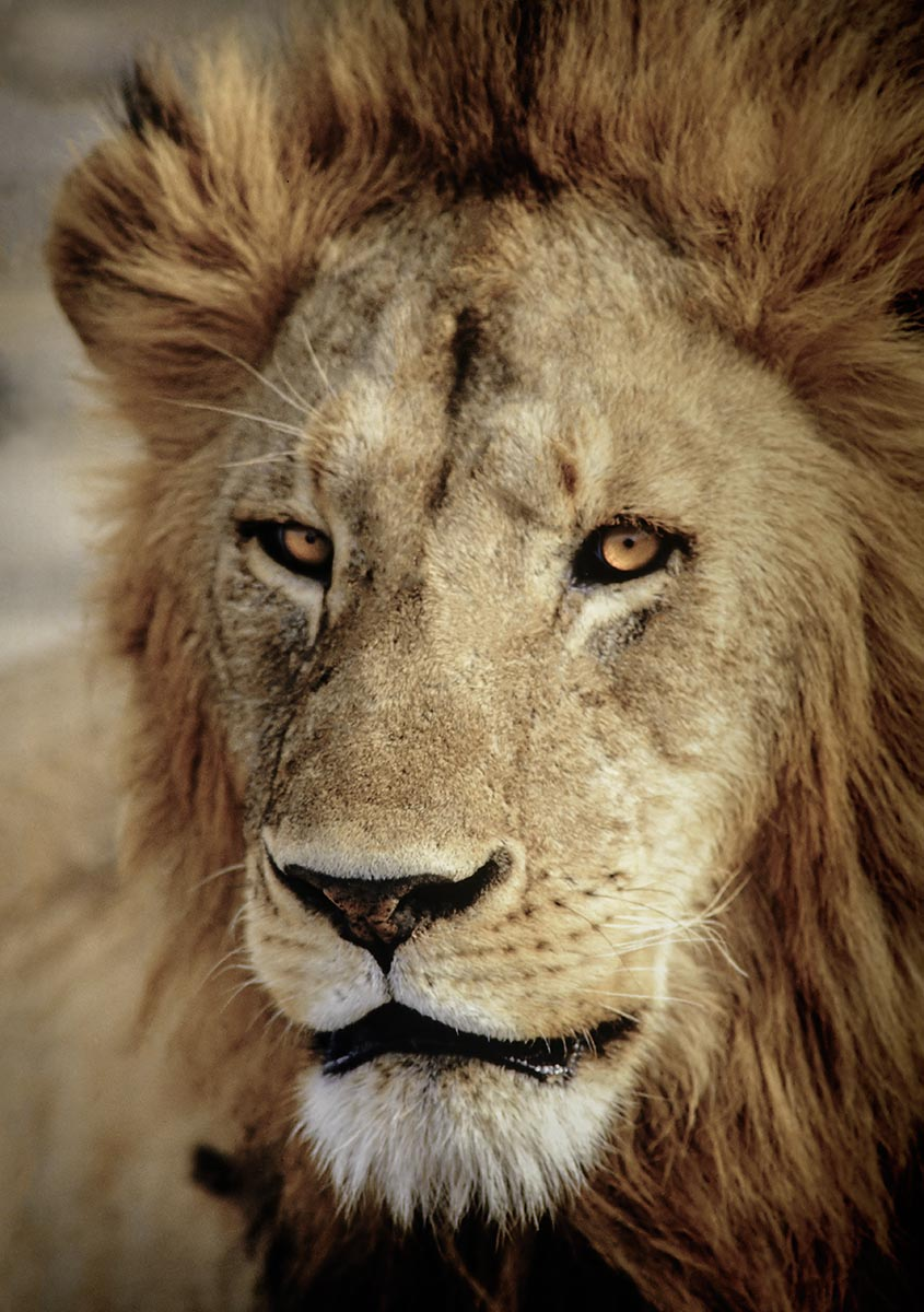 Free stock photo Close up of a male lion head in Africa