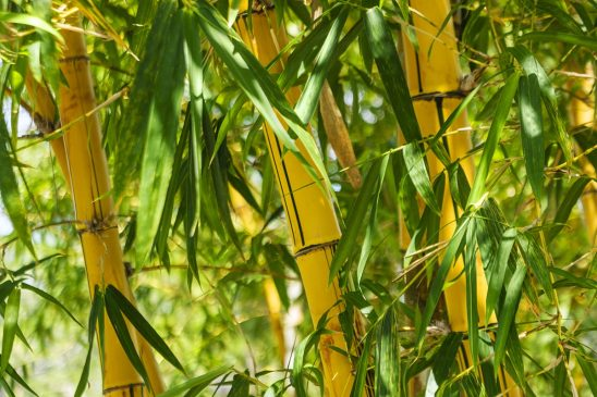 Free stock photo Golden bamboo stalks and green leaves