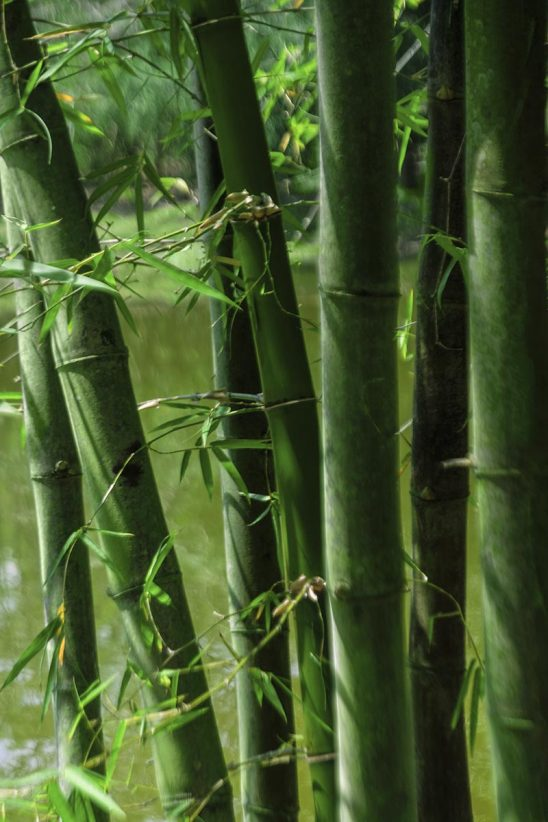 Free stock photo Cluster of bamboo stalks by a pond