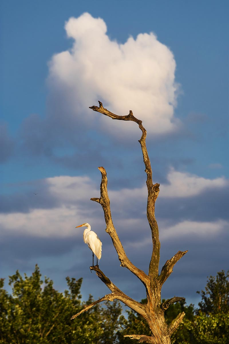 Free stock photo Great Egret standing on a tree branch in the Green Cay Wetlands, Florida