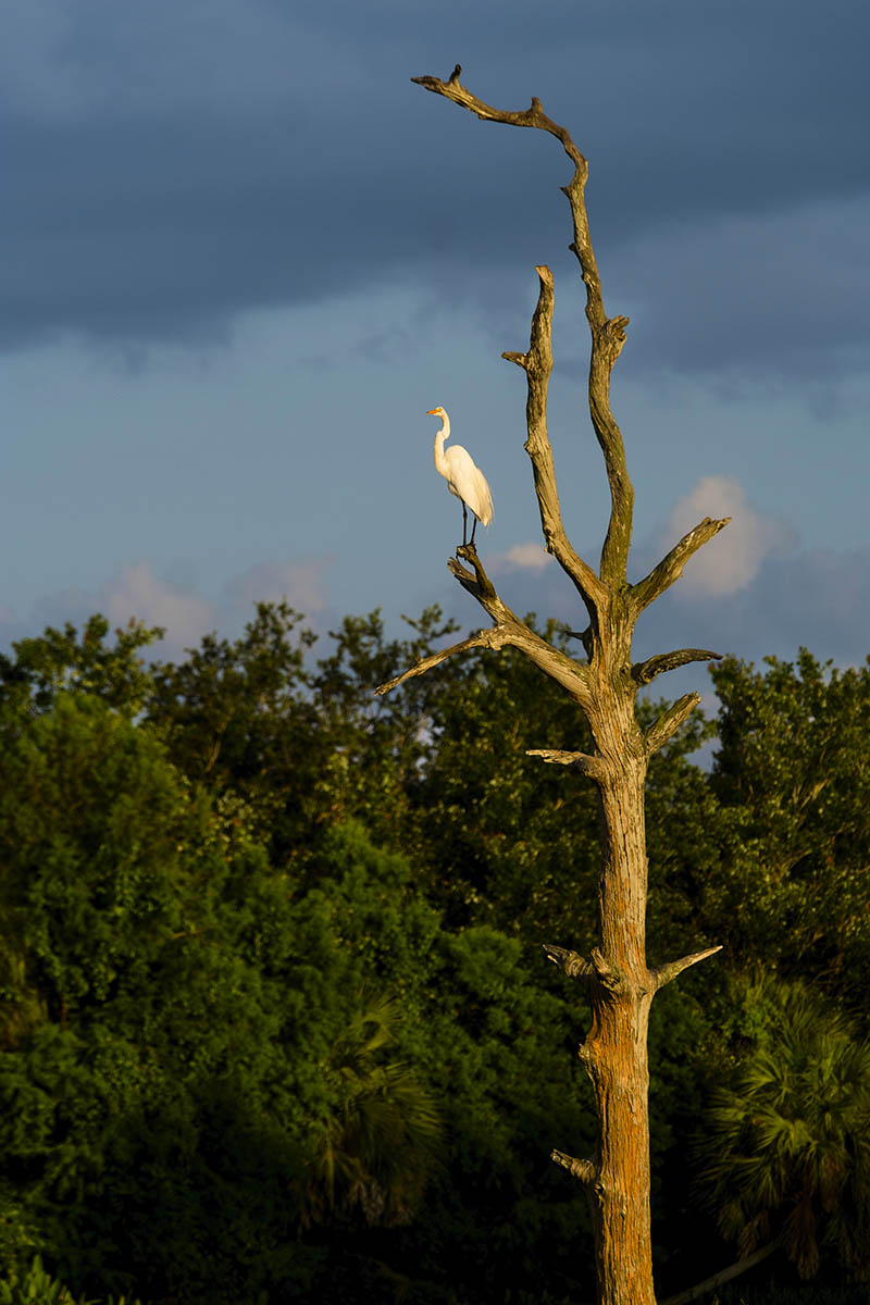 Free stock photo Great Egret perched in a tree, Green Cay Wetlands, Florida
