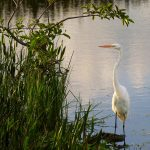 Free stock photo Great Egret wading in the Green Cay Wetlands, Florida