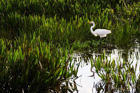 Free stock photo Stalking Great Egret in the Green Cay Wetlands, Florida