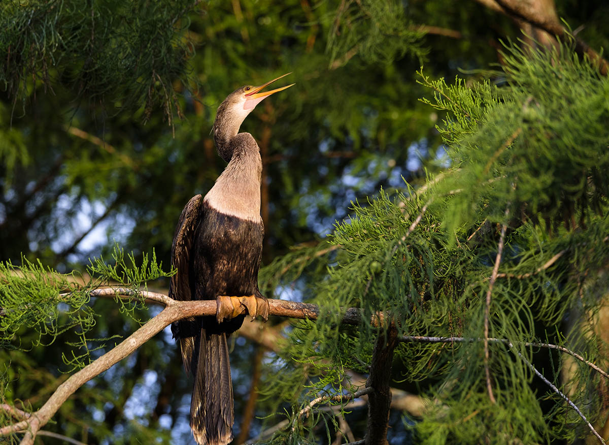 Free stock photo Female Anhinga perched in a tree, Green Cay Wetlands, Florida