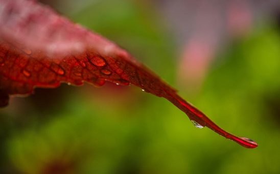 Free stock photo Red coleus leaf with rain drops
