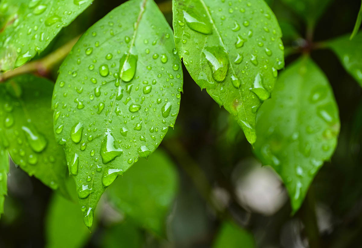 Free stock photo Green leaves with rain water on them