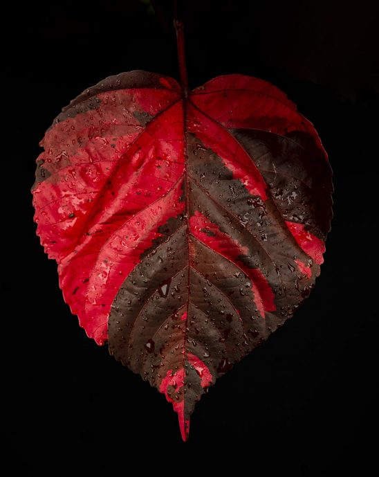 Free stock photo Red Coleus leaf against a black background