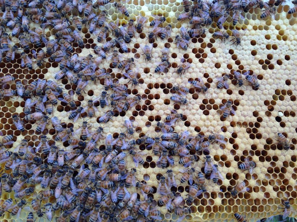 Italian Honey Bees