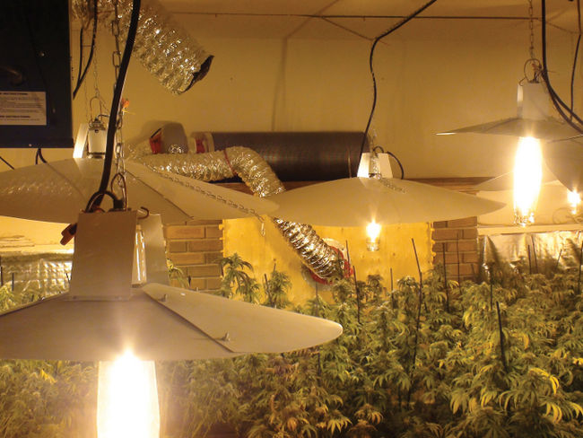 Marijuana Plants at Balzac.jpg