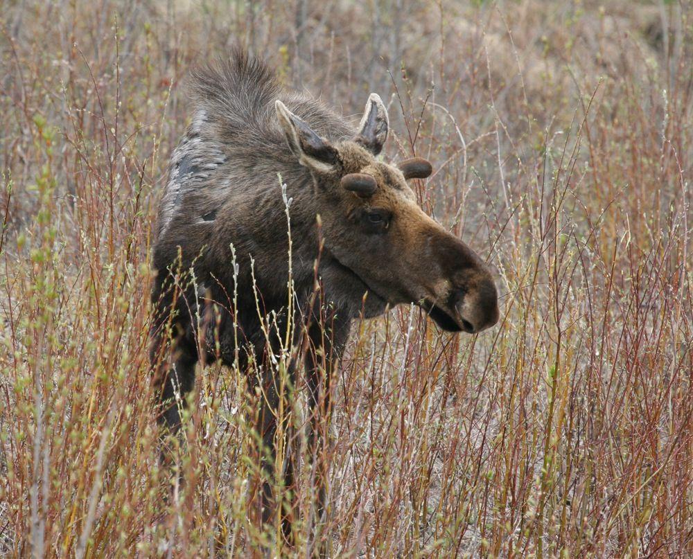 J&Th Moose Bull2.jpg