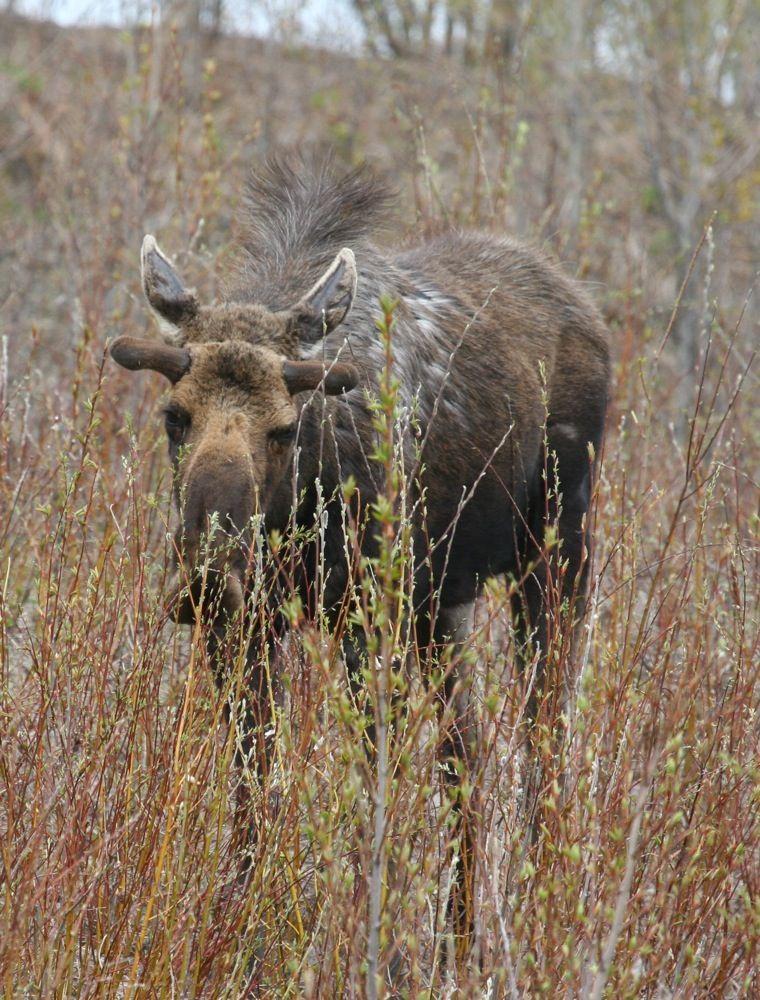 J&Th Moose  Bull1.jpg