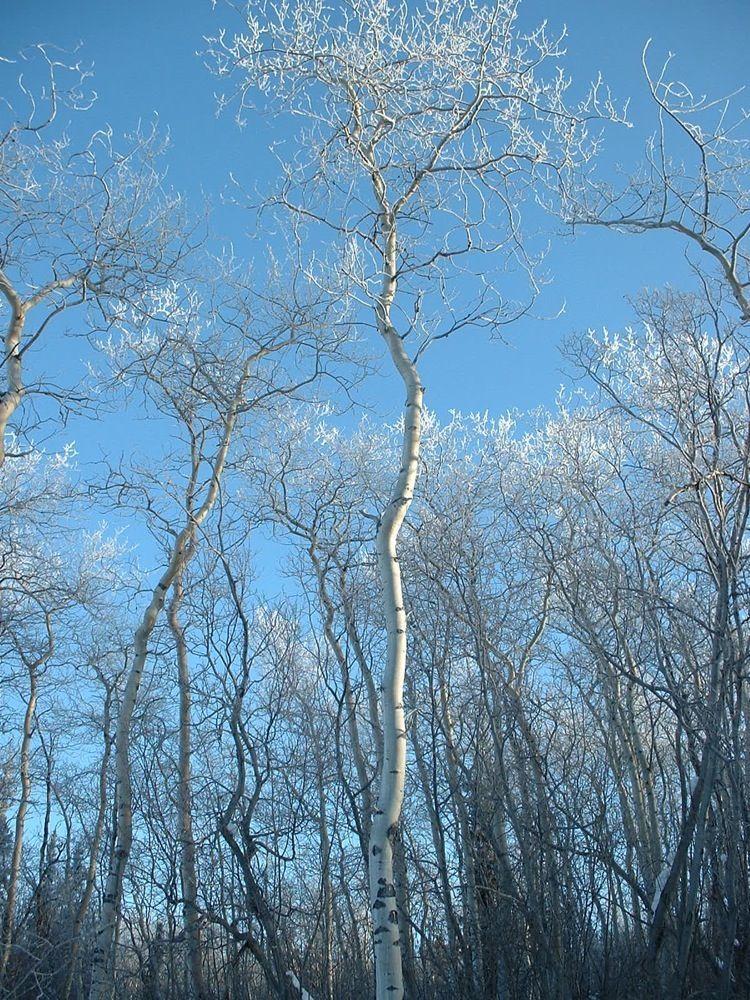 MH aspen hoar frost Feb 2010.jpg