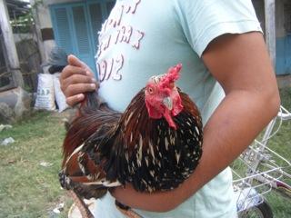Vietnam rooster