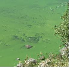 Blue Green Algae in Muskoka