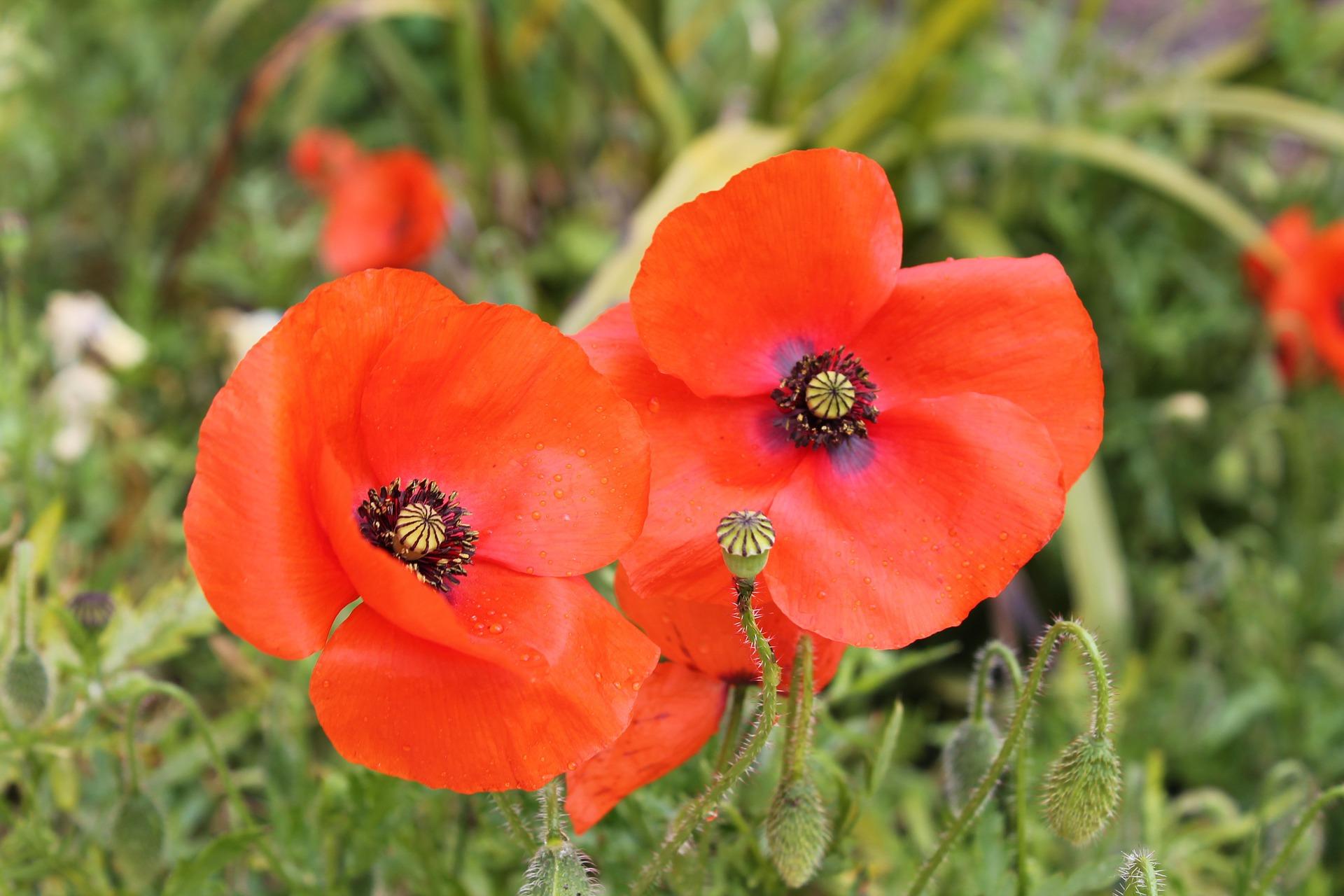 poppy-991326_1920_1920.jpg