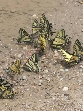 Preview_butterflies_hanging_out_at_the_water_cooler_virginia